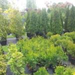 szkółka drzewek stargard